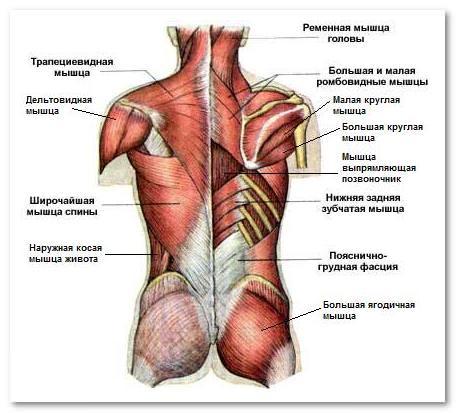 Мышцы спины фото с описанием
