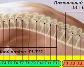 Строение позвоночника человека схема обозначение сколько позвонков