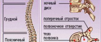 Функции и строение позвоночника человека