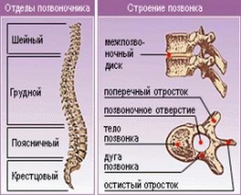 Строение позвоночника человека, его отделы и функции
