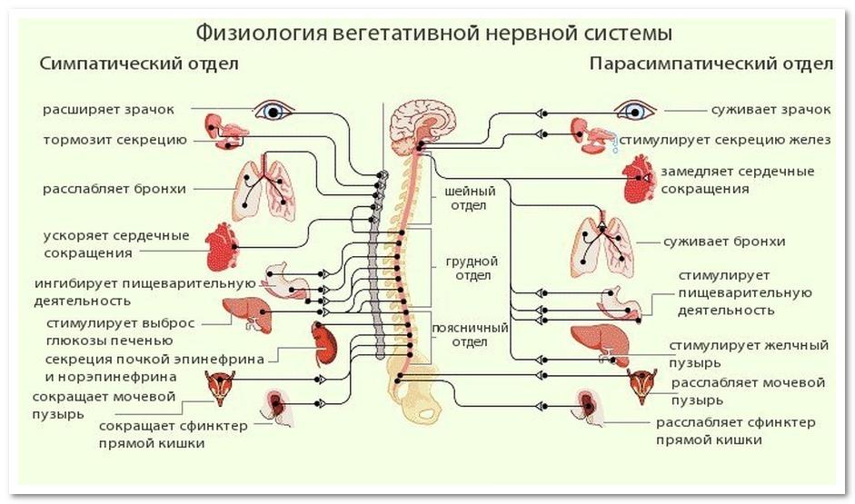 функции серого вещества спинного мозга