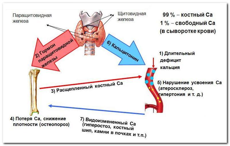 обмен кальция при остеопорозе
