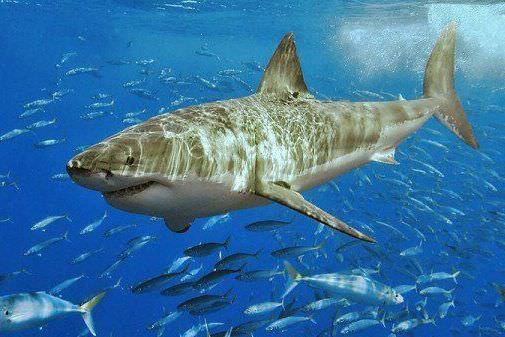 крем из акульего жира