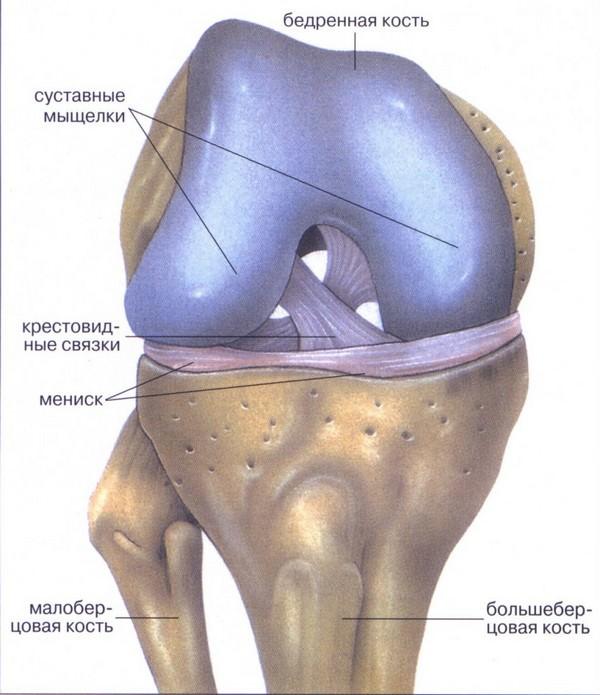 крепление мениска в колене