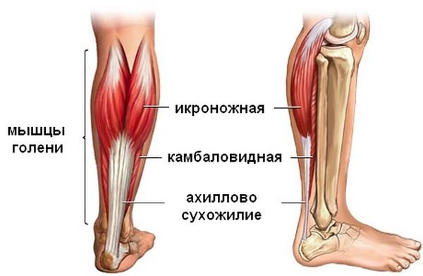 Анатомия ахиллова сухожилия