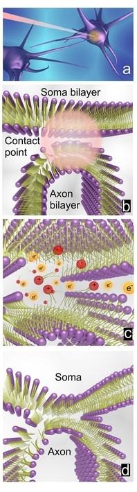 соединение двух нейронов