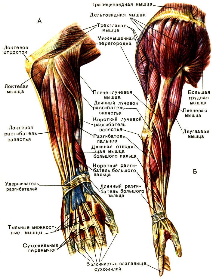 анатомия мышц локтевого сустава