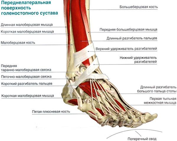 Голеностопный сустав строение и функции мрт коленного сустава недорого в москве