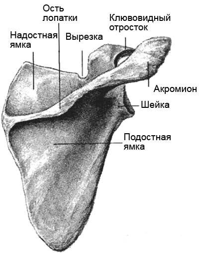 Сустав между плечевой костью и лопаткой это 3