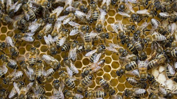 Лечение артроза настойкой пчелиного подмора -