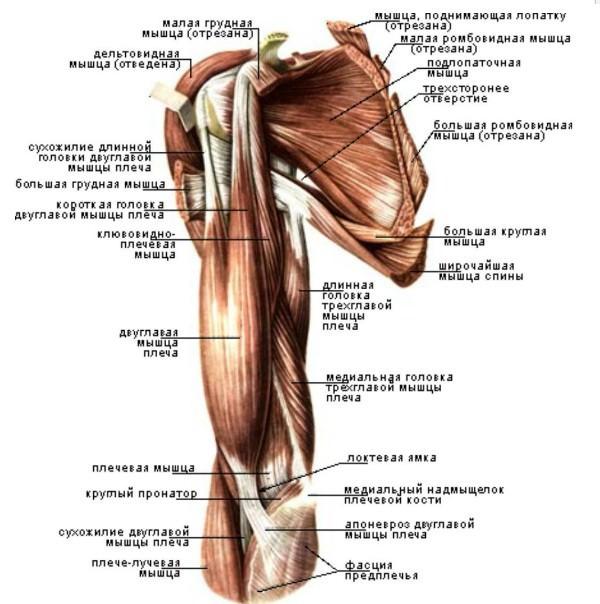 Боль в мышце плечевого сустава ортез орлетт на голеностопный сустав