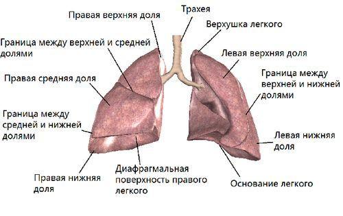 Фото внутренних органов человека с описанием