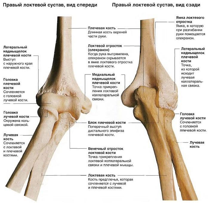 Точка в локтевом суставе виды движения физическая культура связки мышцы суставы