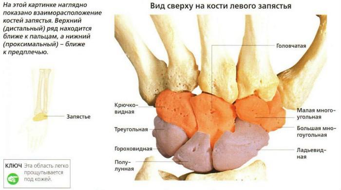 Изображение - Лучезапястный сустав добавочные элементы luchezap-su
